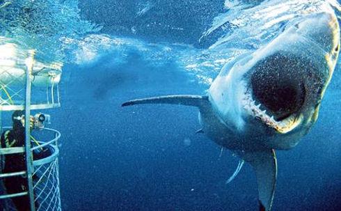 Огромна бяла акула