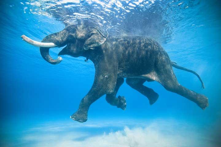 слон във вода